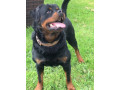quality-rottweiler-stud-small-1