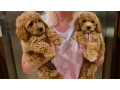 beautiful-f1-cavapoo-red-puppies-small-4