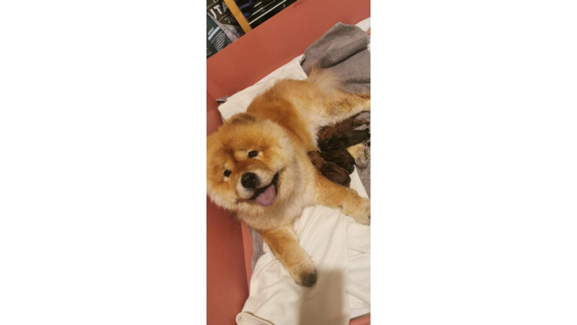 beautiful-red-kc-registered-chow-chow-puppies-big-4