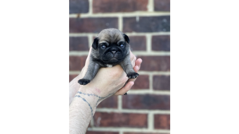 pde-clear-kc-puppies-for-sale-big-2