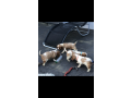 beautiful-blenheim-cavalier-puppies-for-sale-small-5