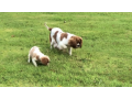 beautiful-blenheim-cavalier-puppies-for-sale-small-0