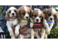 beautiful-blenheim-cavalier-puppies-for-sale-small-1